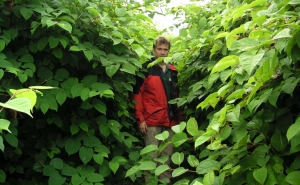 Dense Japanese knotweed
