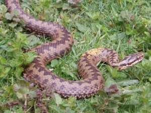 Female Adder