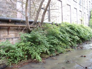 Japanese knotweed removal from watercourse