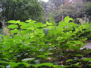 Japanese knotweed stems