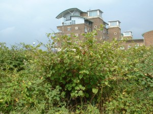 Japanese knotweed removal