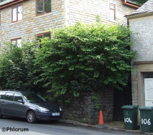 Japanese knotweed house