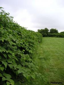 Japanese knotweed field