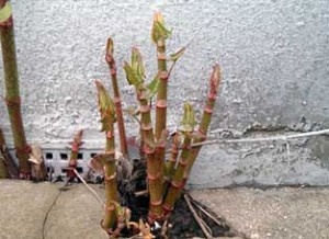 Picture of Japanesse knotweed