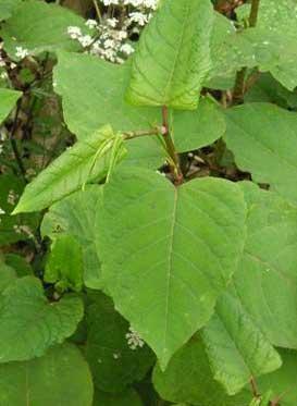 hybrid leaf