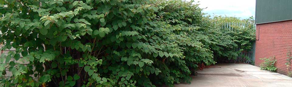 knotweed_legal_issues