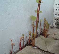 Japanese Knotweed spring growth through concrete paving