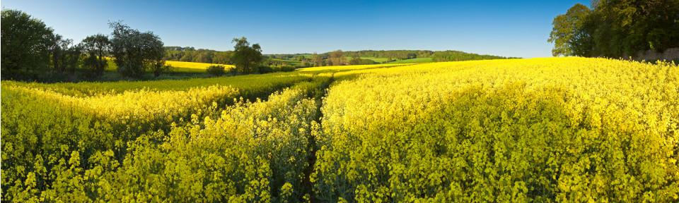 Yellow_field