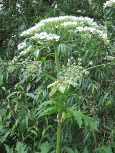 Giant hogweed flowerhead