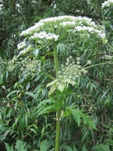 Giant hogweed flowerhead