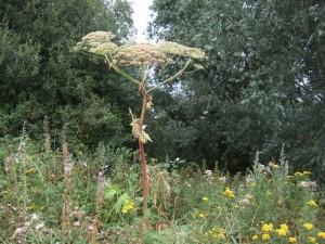 Giant hogweed seedhead