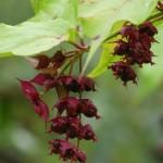 Himalayan honeysuckle fruits