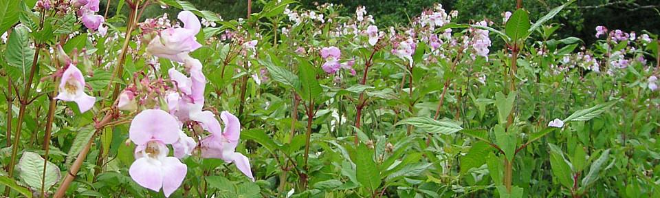 Himalayan balsam in field
