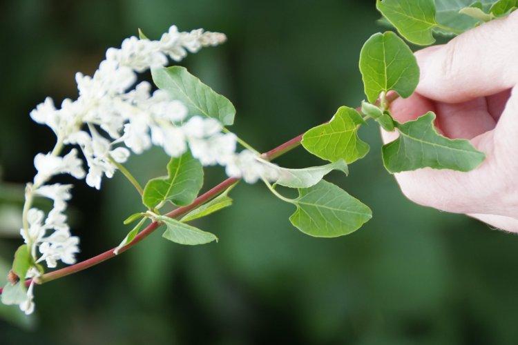 Plants that look like japanese knotweed plants mistaken for russian vine flowers mightylinksfo