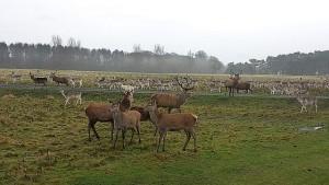 A herd of red deer.