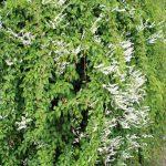 Dense Russian vine growth