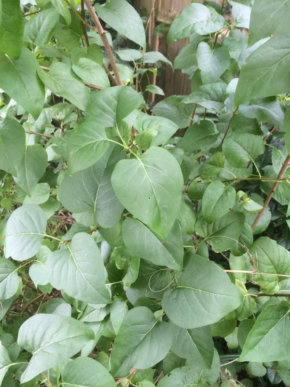 Plants That Look Similar To Japanese Knotweed Plants Mistaken For