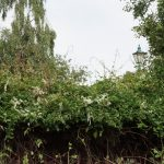 Russian vine on fence