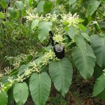 Giant knotweed