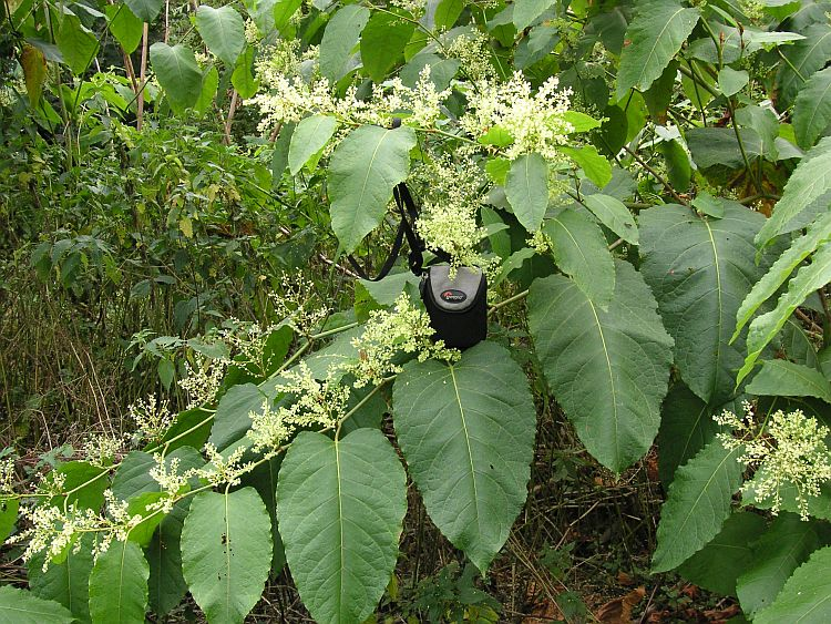 What does japanese knotweed look like