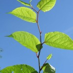 Knotweed shoot and leaves
