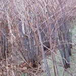Japanese Knotweed Canes in Winter