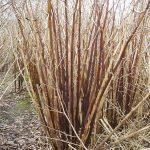 Japanese Knotweed Winter Canes