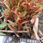 'Bonsai' regrowth
