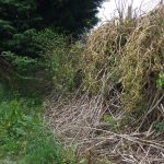 Twisting Japanese Knotweed Stems From Herbicide Effects