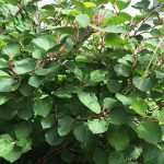 Dwarf knotweed