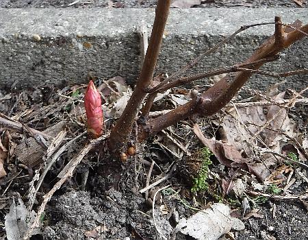 Knotweed crown bud