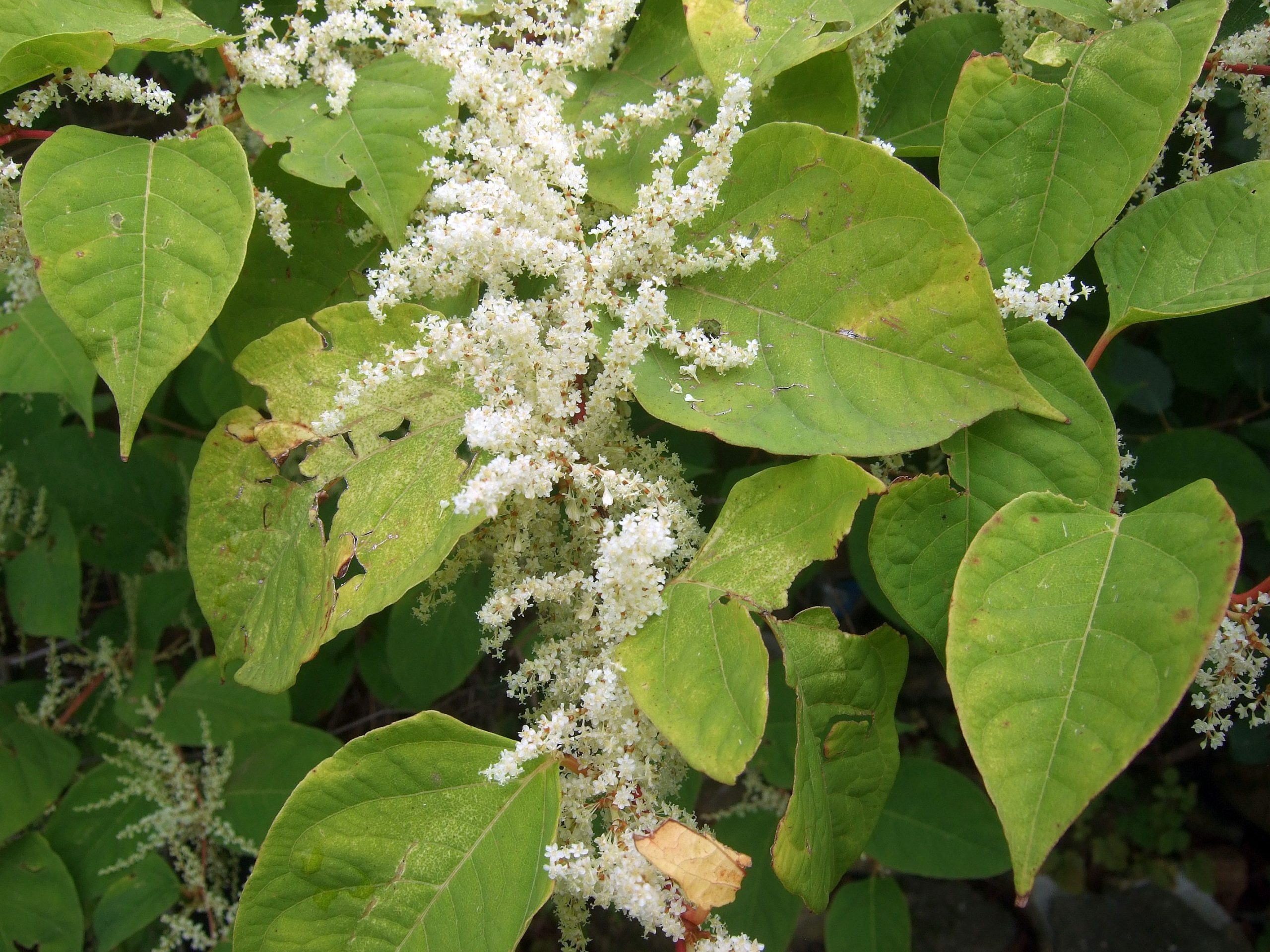 Knotweed flowers