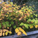 Colours of Japanese Knotweed Leaves in Autumn