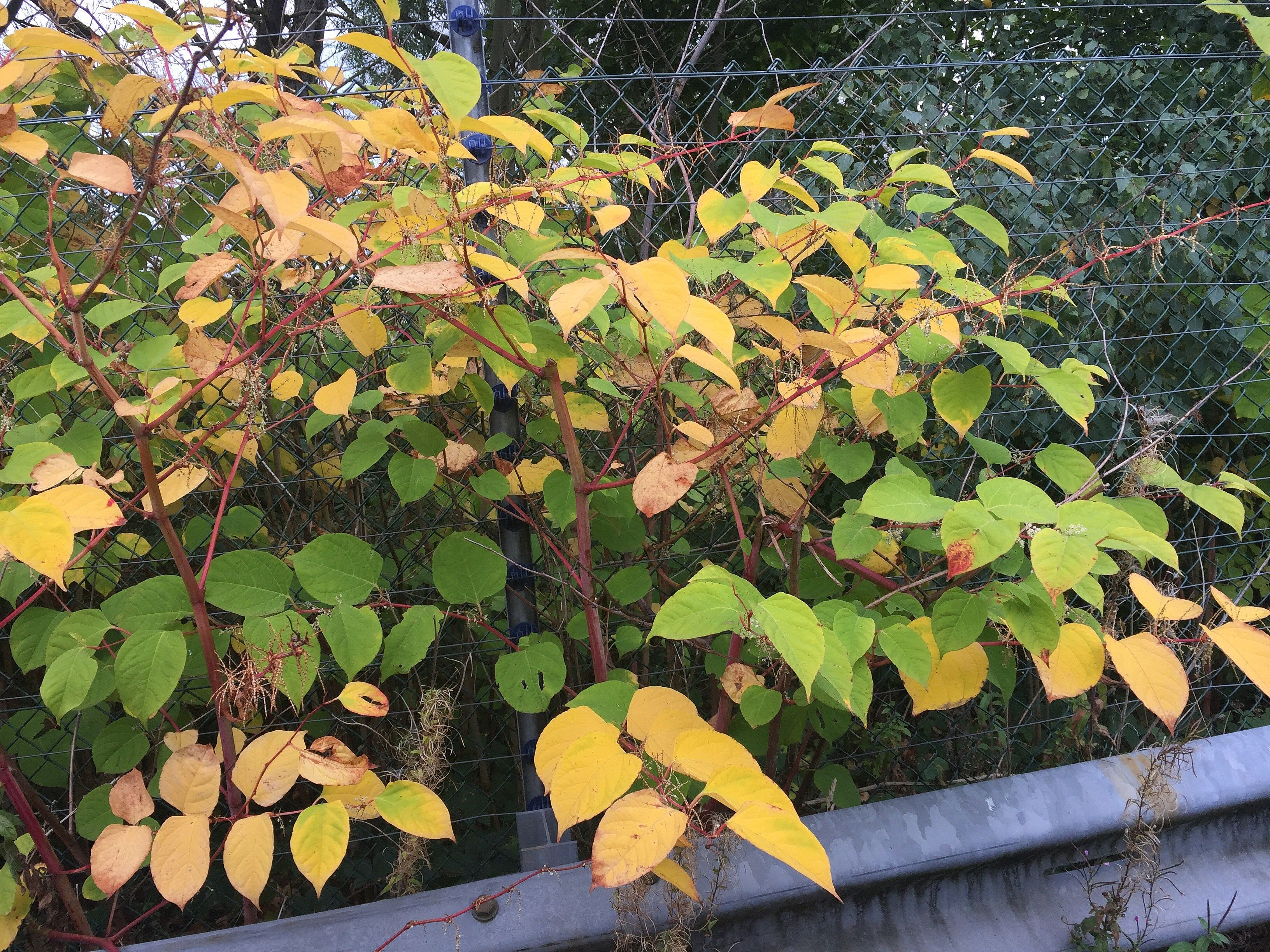 How To Identify Japanese Knotweed Knotweed Identification Card