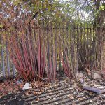 Japanese Knotweed Reddening Stems in Autumn