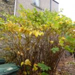 Yellowing Japanese Knotweed Leaves in Autumn