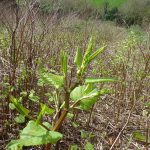 Unrolling Japanese Knotweed Leave In Spring