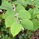 Japanese Knotweed Shoots With Flowers In The Summer