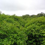Mature Summer Growth of Japanese Knotweed