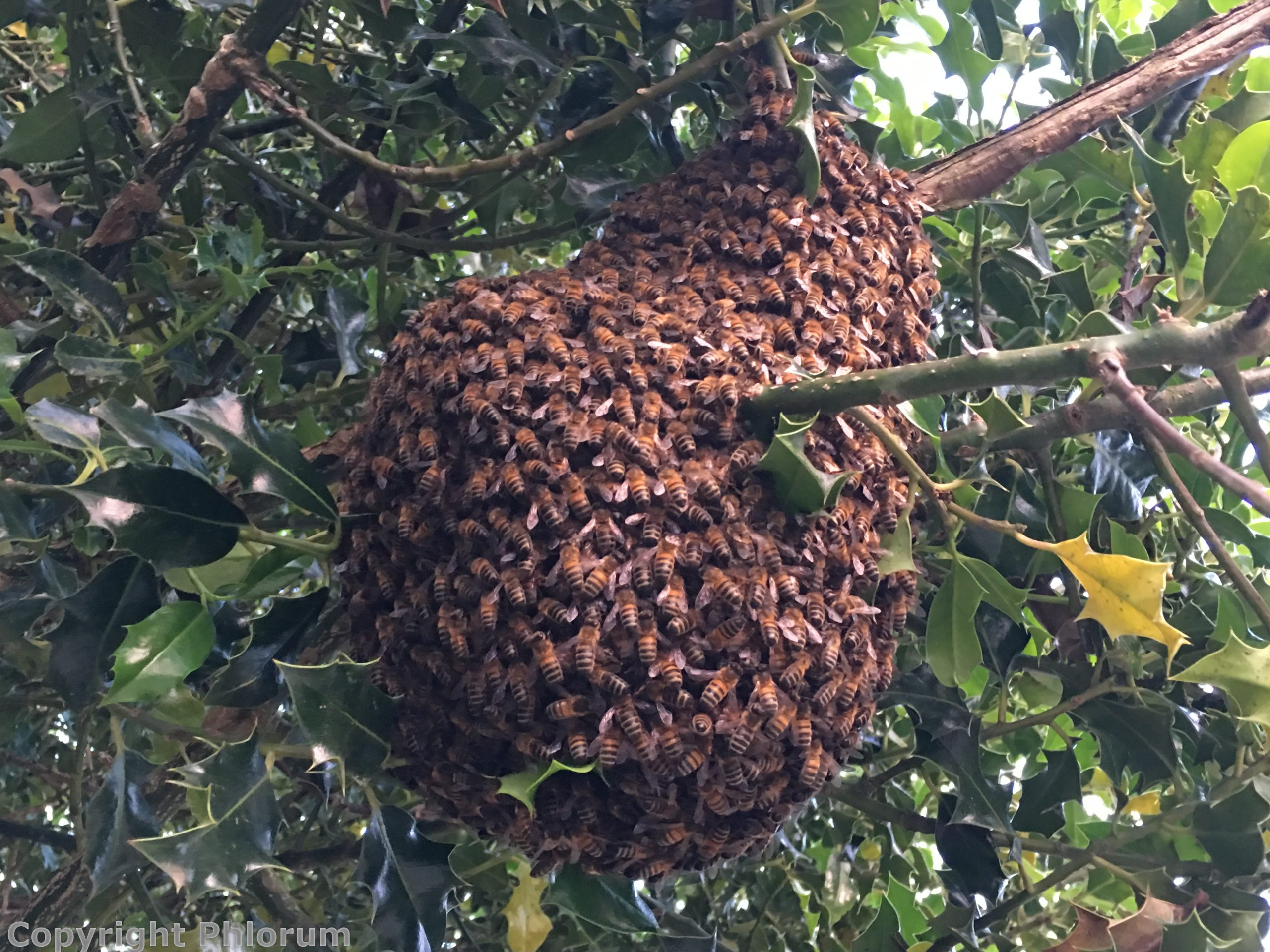 Swarming bees on holly tree