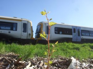 Japanese knotweed shoot on railway