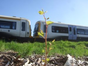 Japanese knotweed shoot on railway