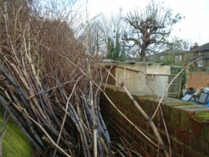 Knotweed canes in winter