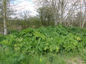 Giant hogweed spiky leaves