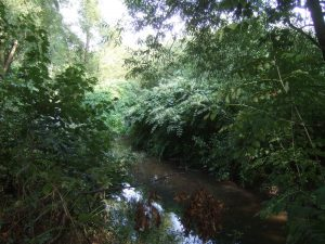 knotweed along river
