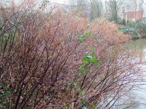 Winter knotweed canes along river