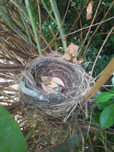 Blackbird nest in knotweed