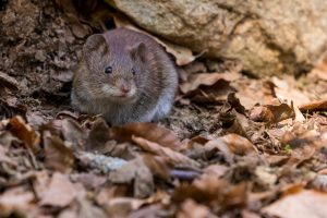 dormouse in leaves